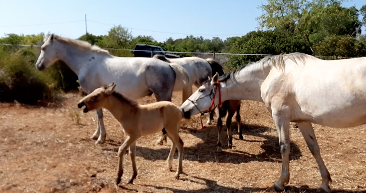 Orphan foal Rocky got tested in the herd by Flame